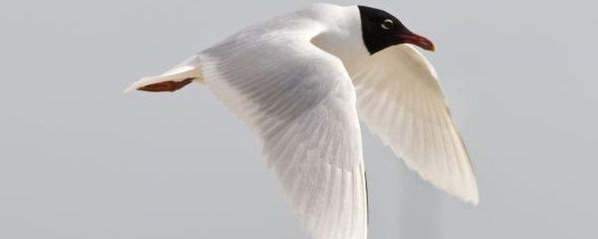 Larus melanocephalus, Zwartkopmeeuw, vliegend. Foto: Saxifraga-Luc Hoogenstein. http://www.freenatureimages.eu
