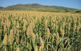 Veld met sorghum. Sorghum field