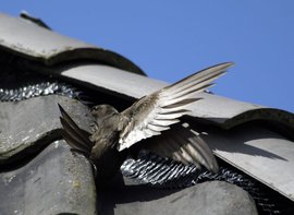 Gierzwaluwen nestelen vaak onder dakpannen