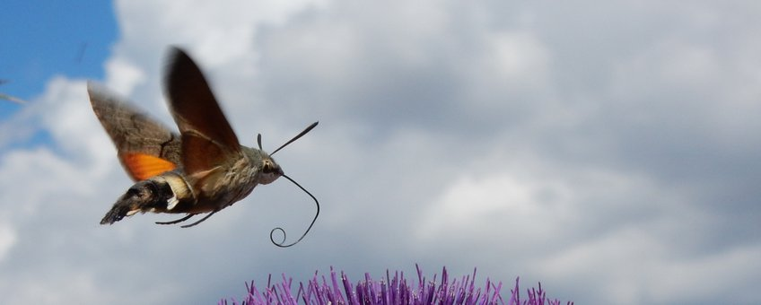 kolibrievlinder - primair