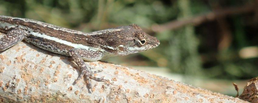 Lizard Lesser Antiles 1