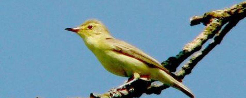 spotvogel