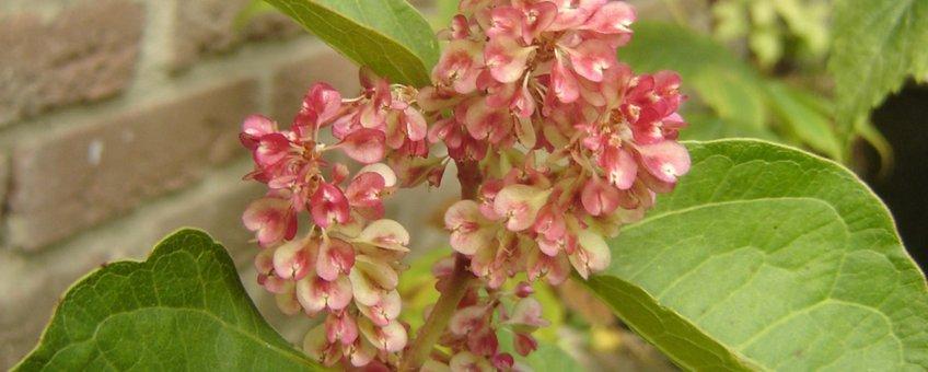 Vruchten van Japanse duizendknoop (var. compacta)