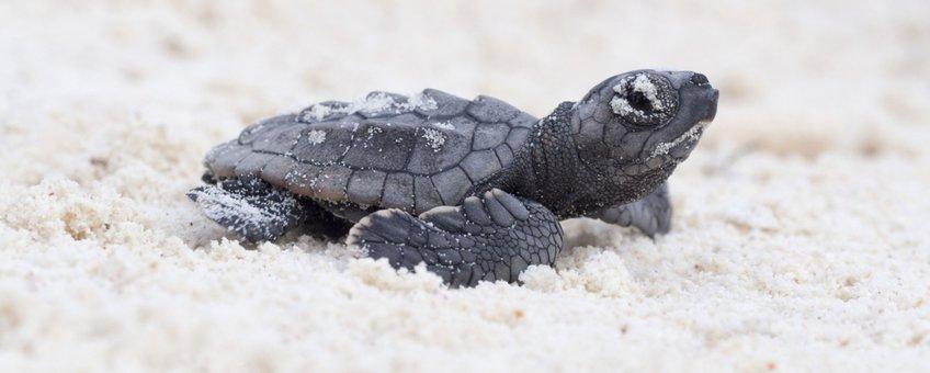 Pasgeboren zeeschildpad Bonaire