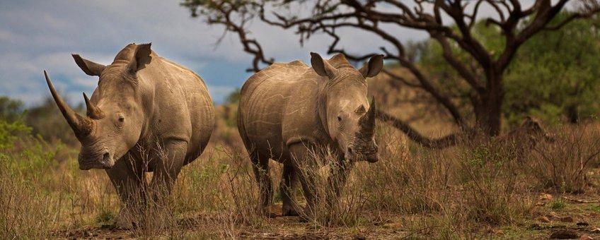 Twee witte neushoorns in Zuid-Afrika