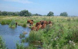 Schotse Hooglanders in natuurgebied Kuipersveer aan de Oude Maas