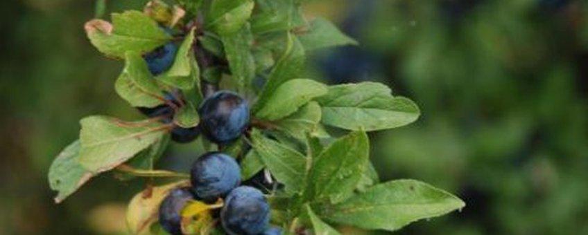Sleedoorn in vrucht Foto: Wout van der Slikke
