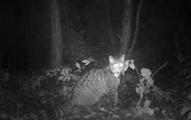 Gezenderde wilde kat voor de cameraval