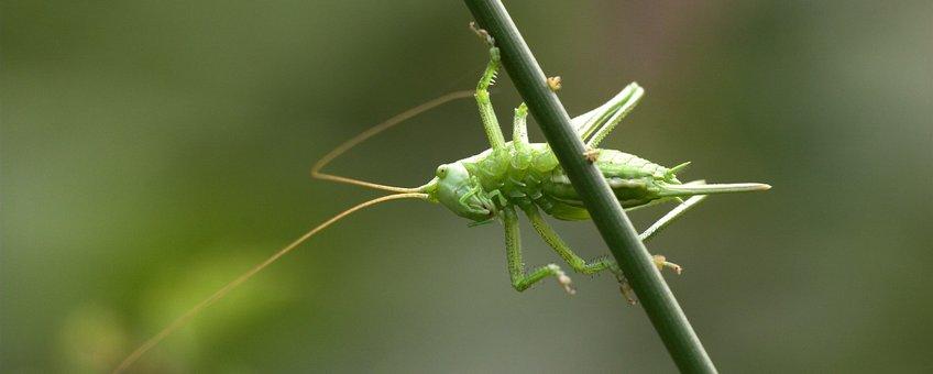 Tettigonia viridissima. Grote groene sabelsprinkhaan