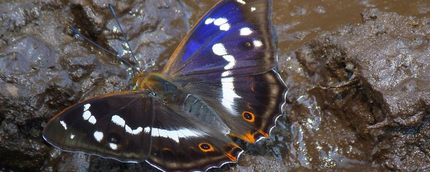 grote weerschijnvlinder primair