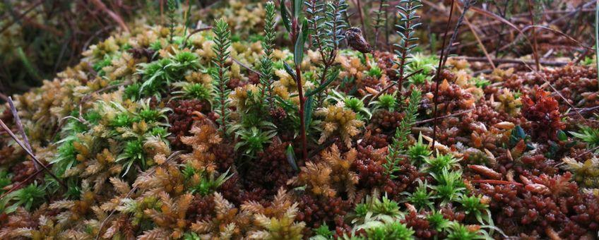 Veenmosbult in het kerngedeelte van het Fochteloërveen met zowel ombrotrofe als minerotrofe veenmossoorten (Sphagnum papillosum resp. Sphagnum palustre en Sphagnum fimbriatum). Verder zijn te zien lavendelhei (Andromeda polifolia), ronde zonnedauw (Drosera rotundifolia), dophei (Erica tetralix) en eenarig wollegras (Eriophorum vaginatum), 2014