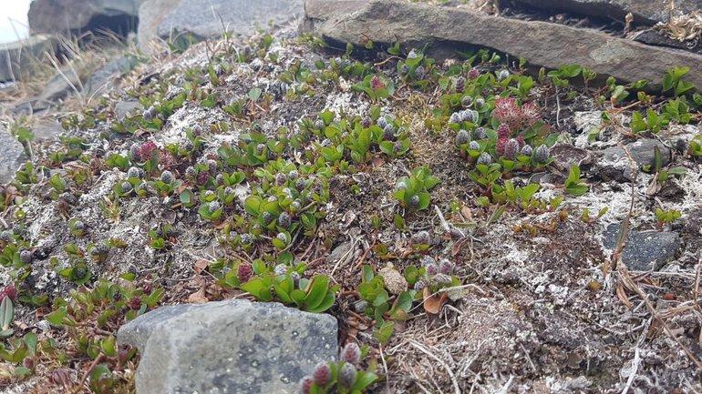 Poolwilg op Spitsbergen met nieuwe bladeren en bloemen