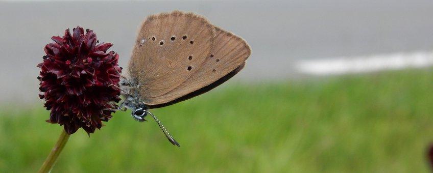 donker pimpernelblauwtje - primair