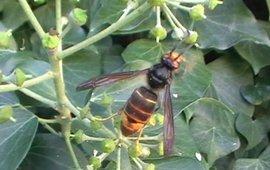 mannetje Aziatische hoornaar in België