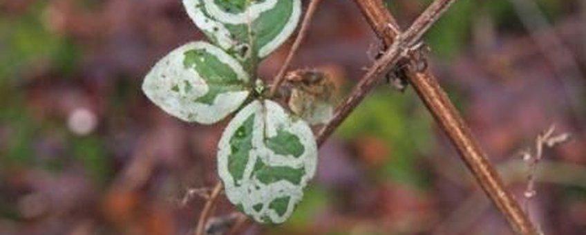 Mijnen van Chromatomyia aprilina