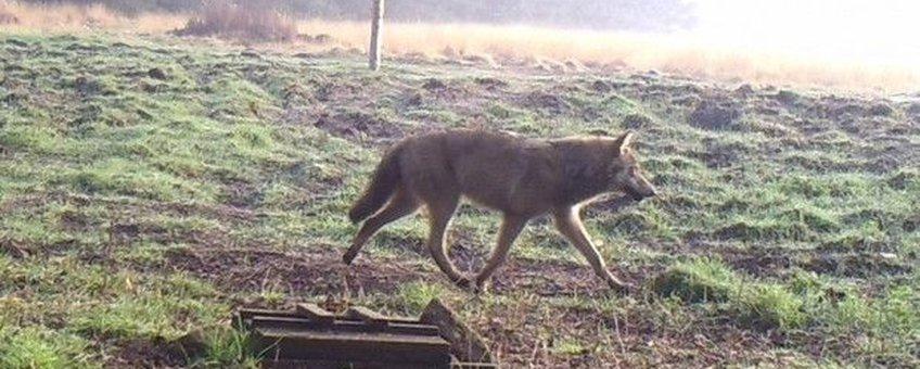 Wolf bij Nordhorn