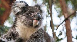Een geredde koala zit in een boom die dient als tussenstap voor vrijlating.
