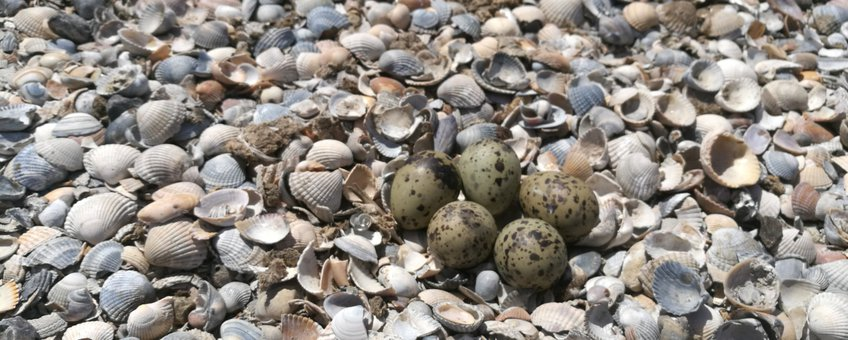 Eieren visdief