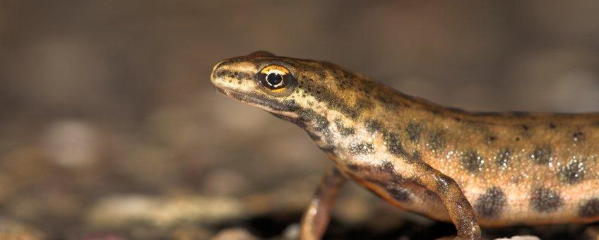 man kleine watersalamander