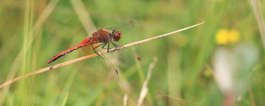 geelvlekheidelibel - primair