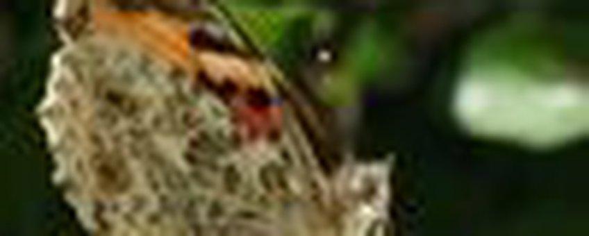 distelvlinder vuurdoorn klein
