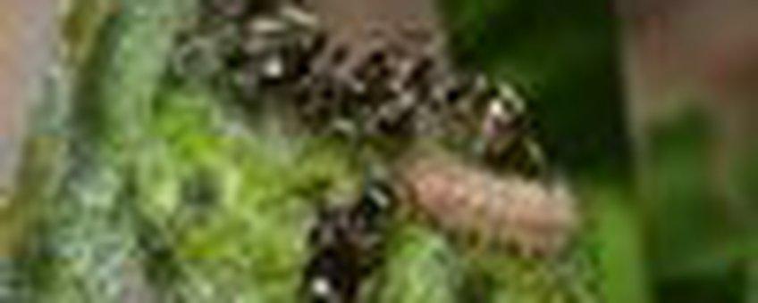 rups bruine eikenpage met mieren
