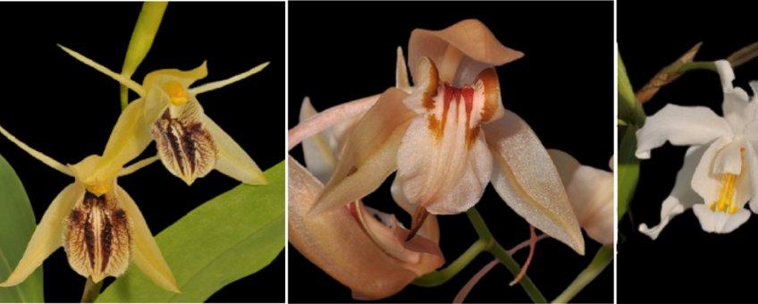 Van links naar rechts: De Aziatische epifytische orchideesoorten Pholidota fimbriata, Coelogyne fimbriata, Coelogyne fuscescens en Coelogyne cristata, die worden gebruikt vanwege hun geneeskrachtige werking