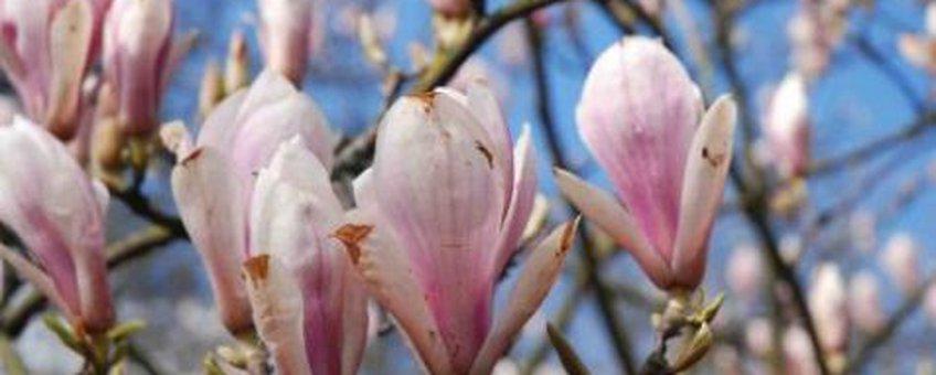 Magnolia foto Wout van der Slikke