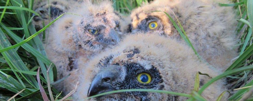 Jonge velduilen op het nest, nadat ze geringd zijn voor onderzoek