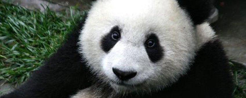 Mogen we de Reuzenpanda laten uitsterven als blijkt dat hij niet genoeg nut heeft voor de mens? (foto: Wikipedia)