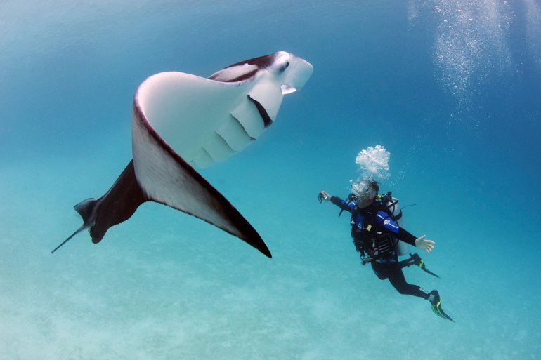 Oceanic manta rays can grow to a size up to 7 meter, but the average size commonly observed is 4.5 meter