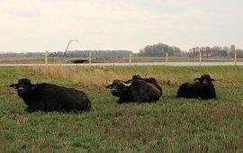 Waterbuffels in de Noordwaard bij Werkendam