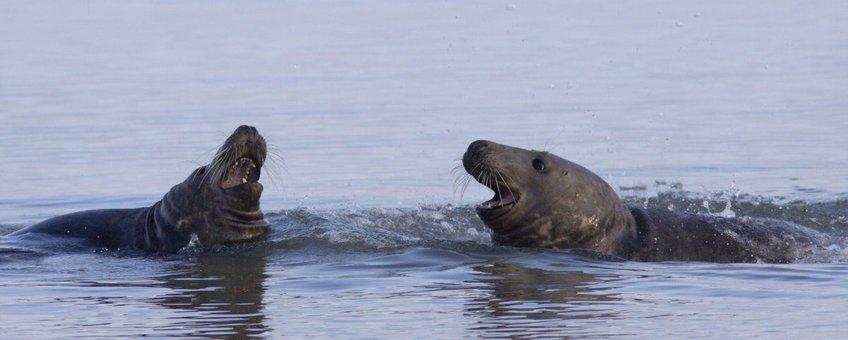 Halichoerus grypus. Grijze zeehond
