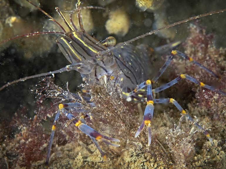 Tal van dieren, zoals deze gezaagde steurgarnaal, profiteren van schelpdierriffen