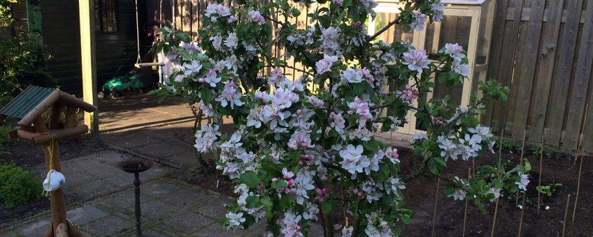 volle bloei appelboom