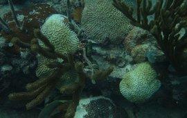 Door SCTLD aangetaste koralen