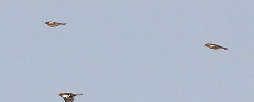 Trekkende vinken ontbraken in deze vogeltrekgolf compleet. Tot nu toe is de soort sowieso onzichtbaar voor veldwaarnemers, terwijl er nu honderdduizenden vinken over de lage landen horen te trekken