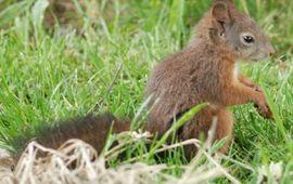 Japanse eekhoorn uitgezet in Amersfoort