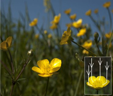The buttercup's petals can concentrate the sunlight towards the central area of the flower