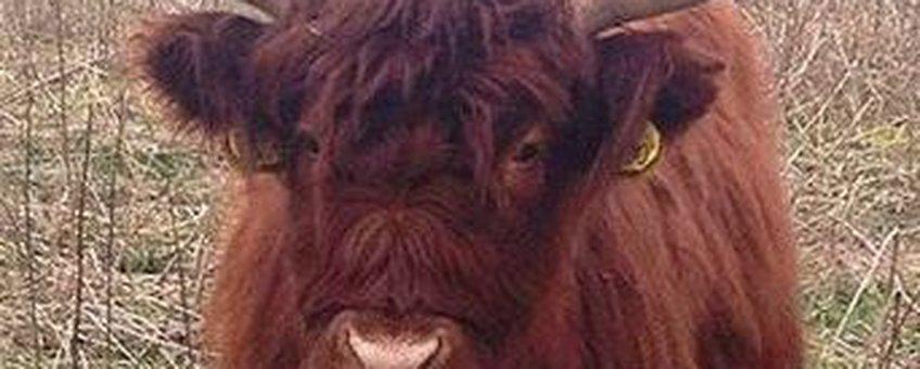 Schotse Hooglander zonder klissen in natuurgebied de Staart