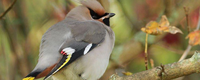 Pestvogel mannetje