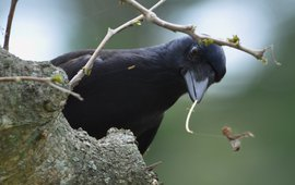Caledonian crow with tool