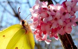 citroenvlinder op Viburnum - primair