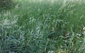 Grassen volop in bloei