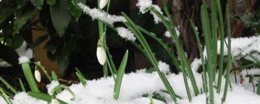 Sneeuwklokje. Fotograaf: Iris Wijngaarden, GNU-licentie