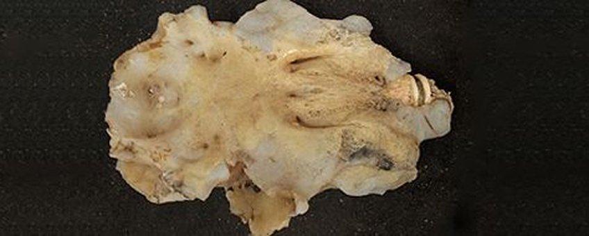De opgeviste schedel van een reuzenhaai voor eenmalig gebruik
