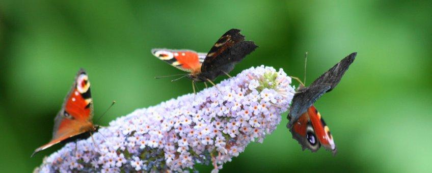 Dagpauwogen op vlinderstruik