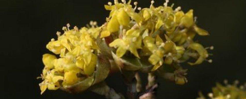 Gele kornoelje bloei, close-up. Foto Paul Busselen Katholieke Universiteit Leuven
