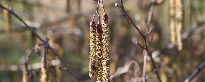 Zwarte els, Alnus glutinosa, bloei