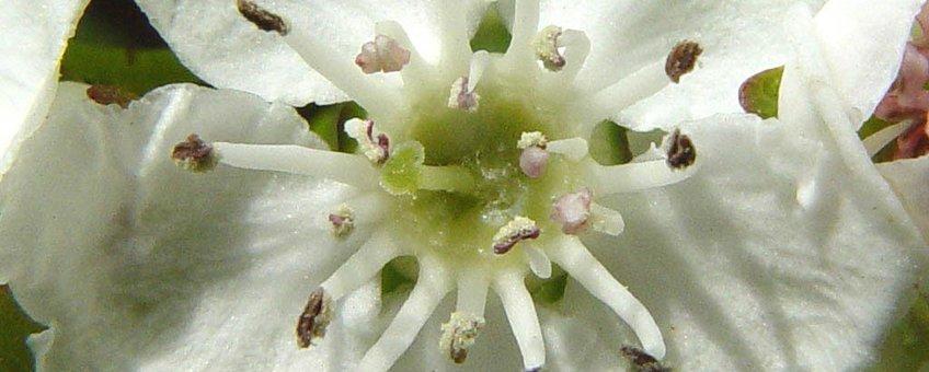 Eenstijlige meidoorn, bloem,  K.U.Leuven Campus Kortrijk http://www.kuleuven-kortrijk.be/bioweb/